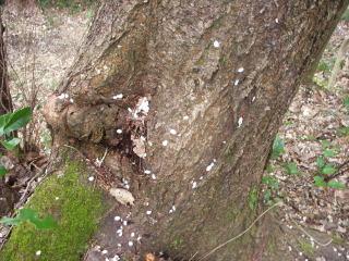 山桜の樹の下に散骨