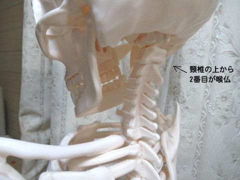 骨格で見る喉仏