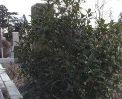 お墓に植えた木