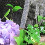 墓じまい雨に救われしばしの花見